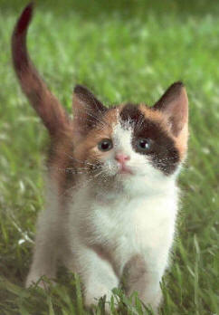 Calico Kitty